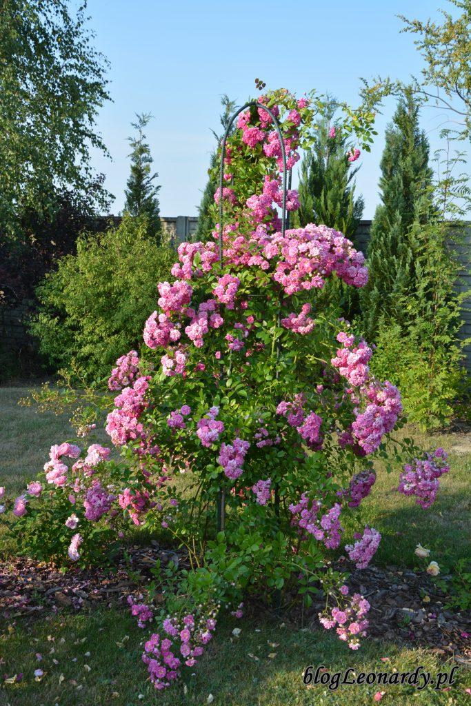 2. róża pnąca super dorothy