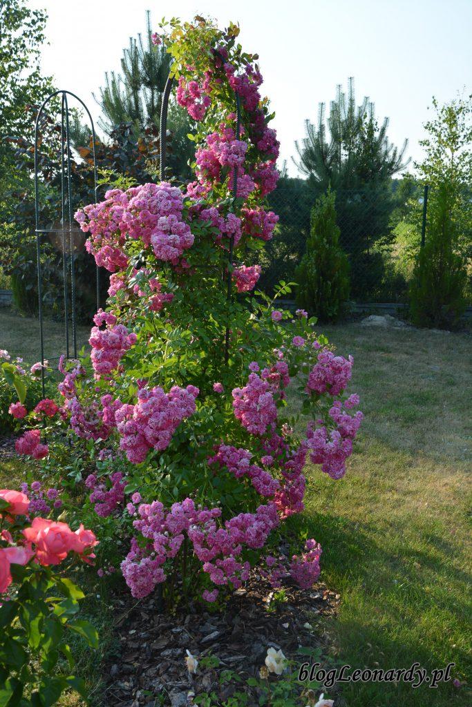 2. róża super dorothy