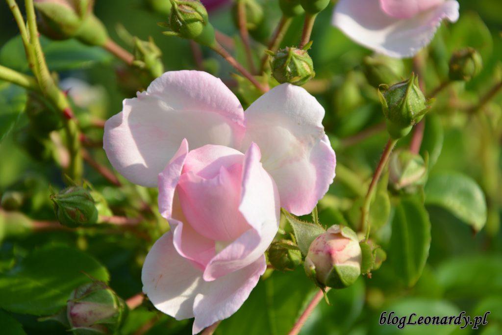 Róża jasmina