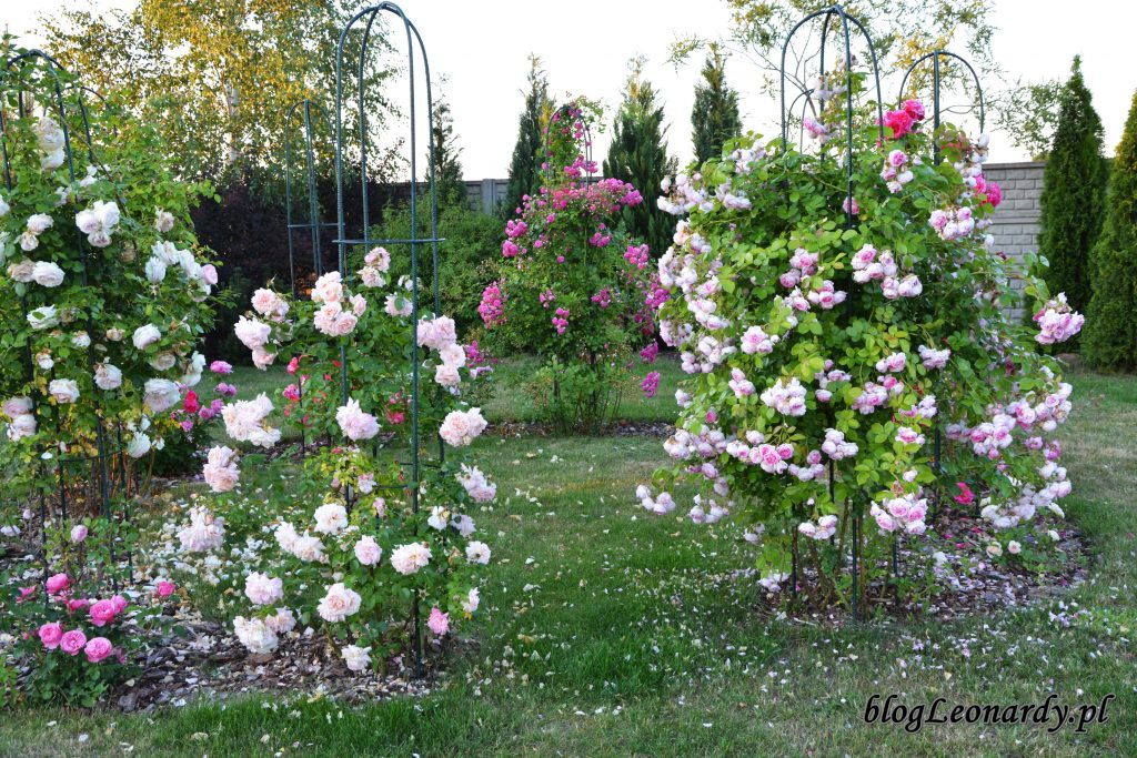 altana różana