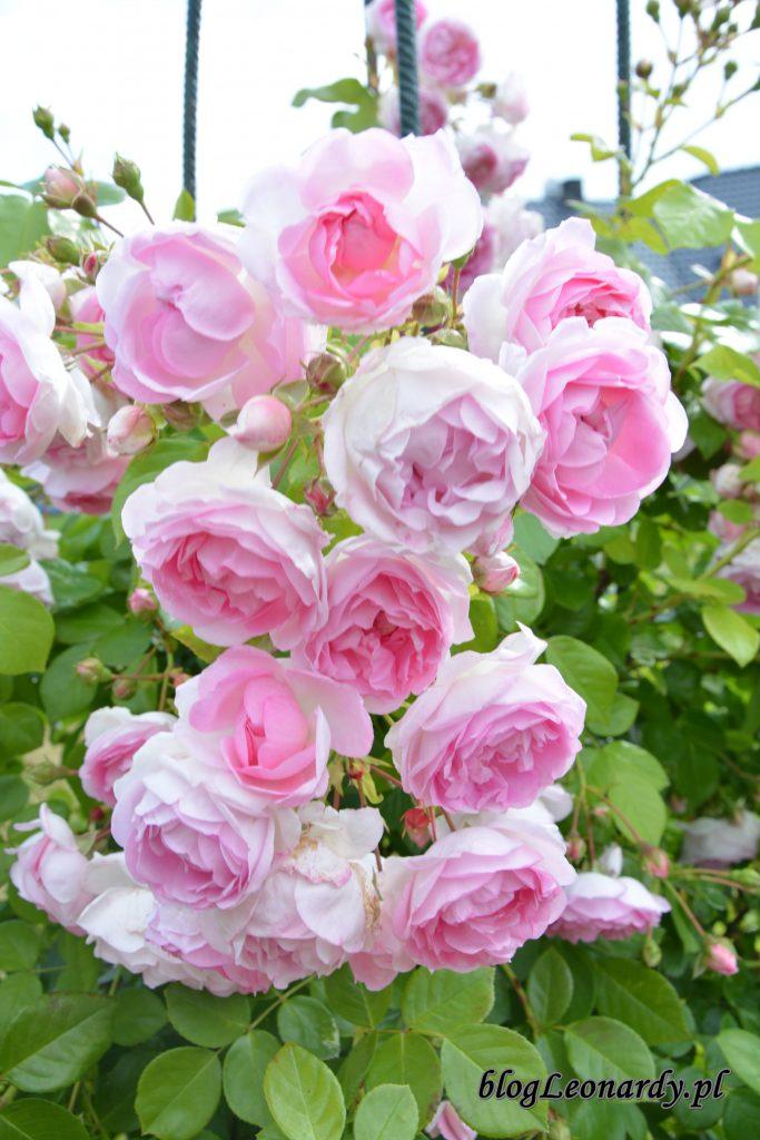jasmina kwiatostan