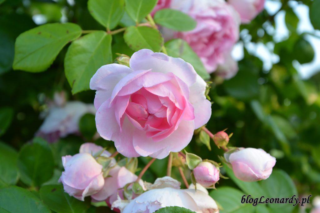 jasmina kwitnąca