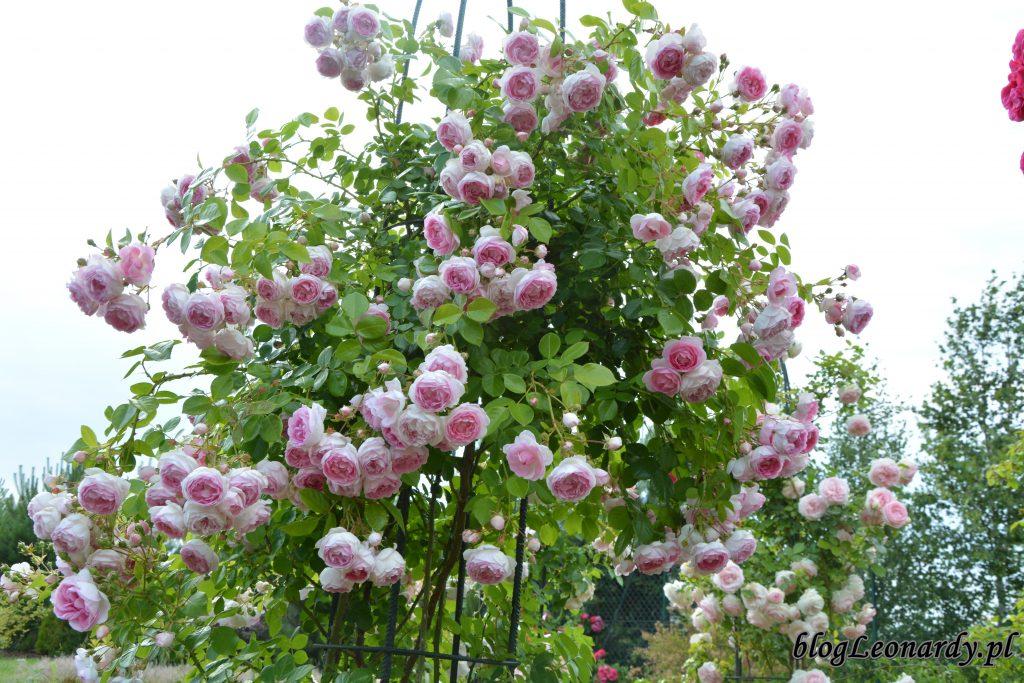 jasmina róża