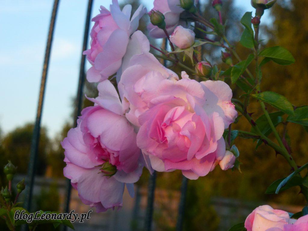 jasmina różowa