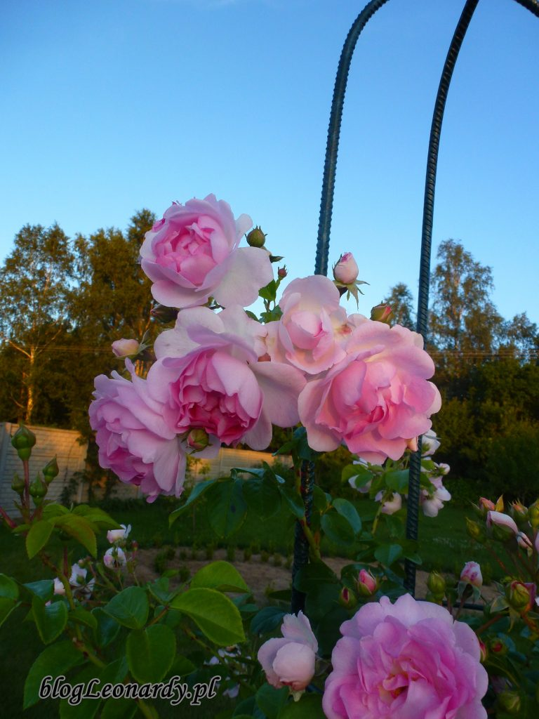 jasmina różowa pnąca