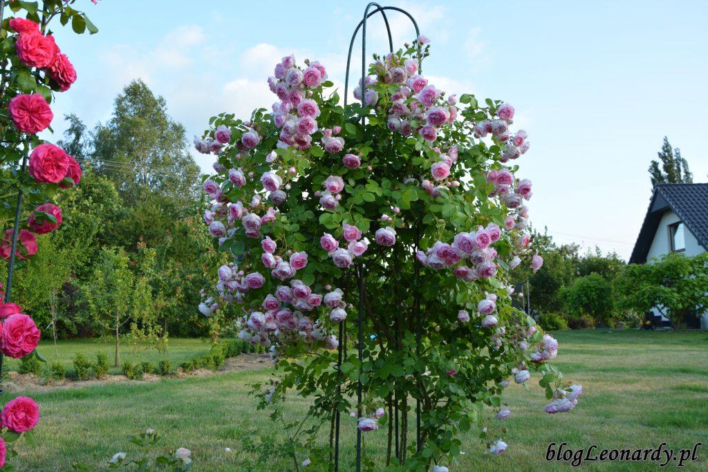 róża pnąca jasmina