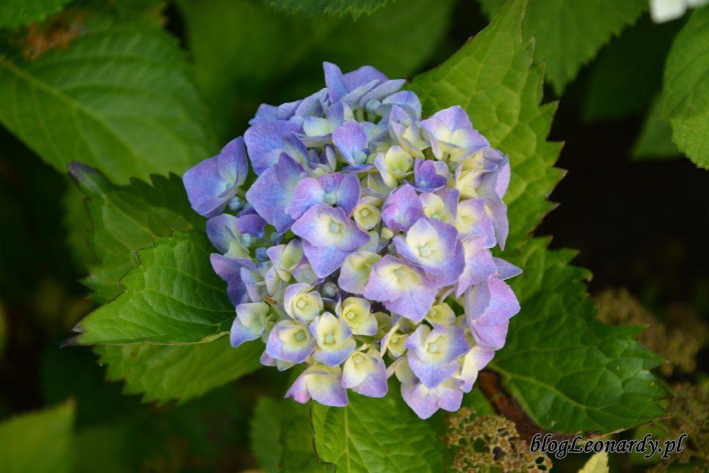 1. hortensja ogrodowa