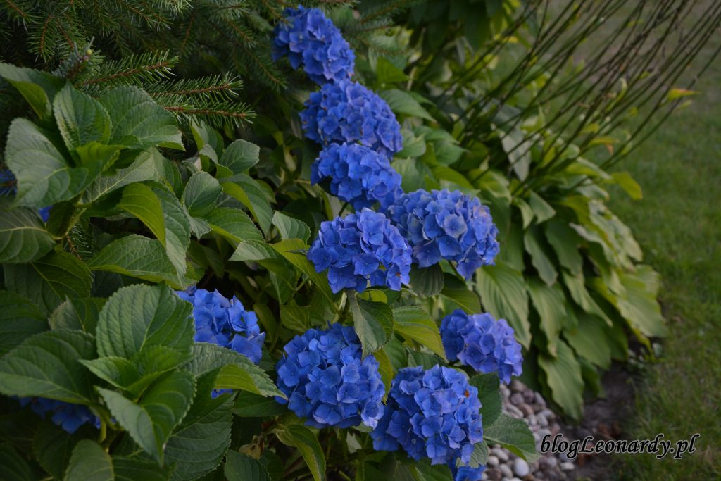 hortensja ogrodowa 2