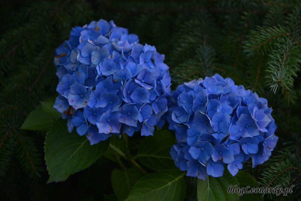 hortensja ogrodowa 3