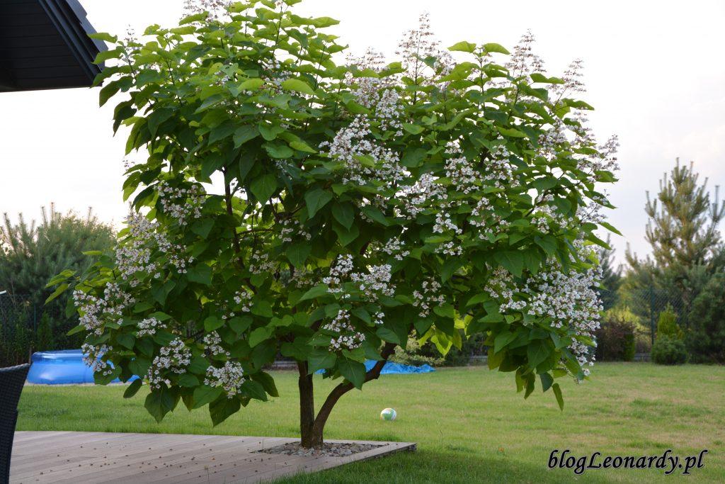 katalpa drzewo kwitnące w lipcu