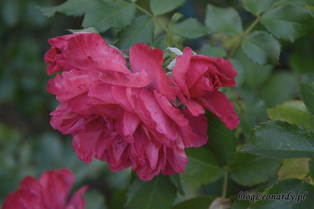 rosarium uetersen 2