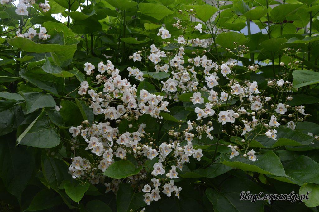 surmia bignoniowa kwiaty