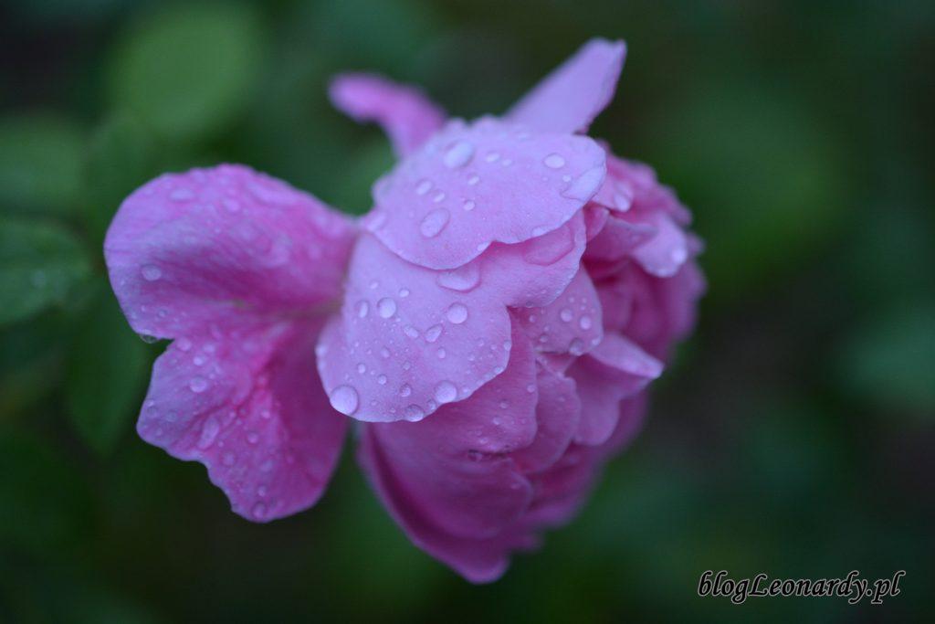 1 róża 2