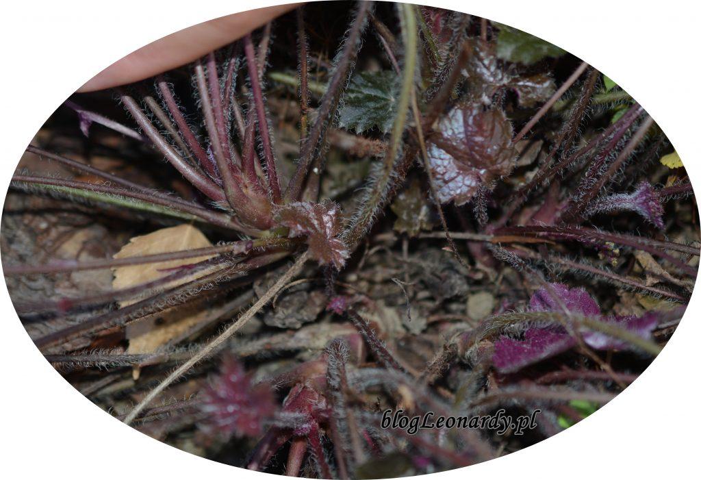 roślina macierzysta