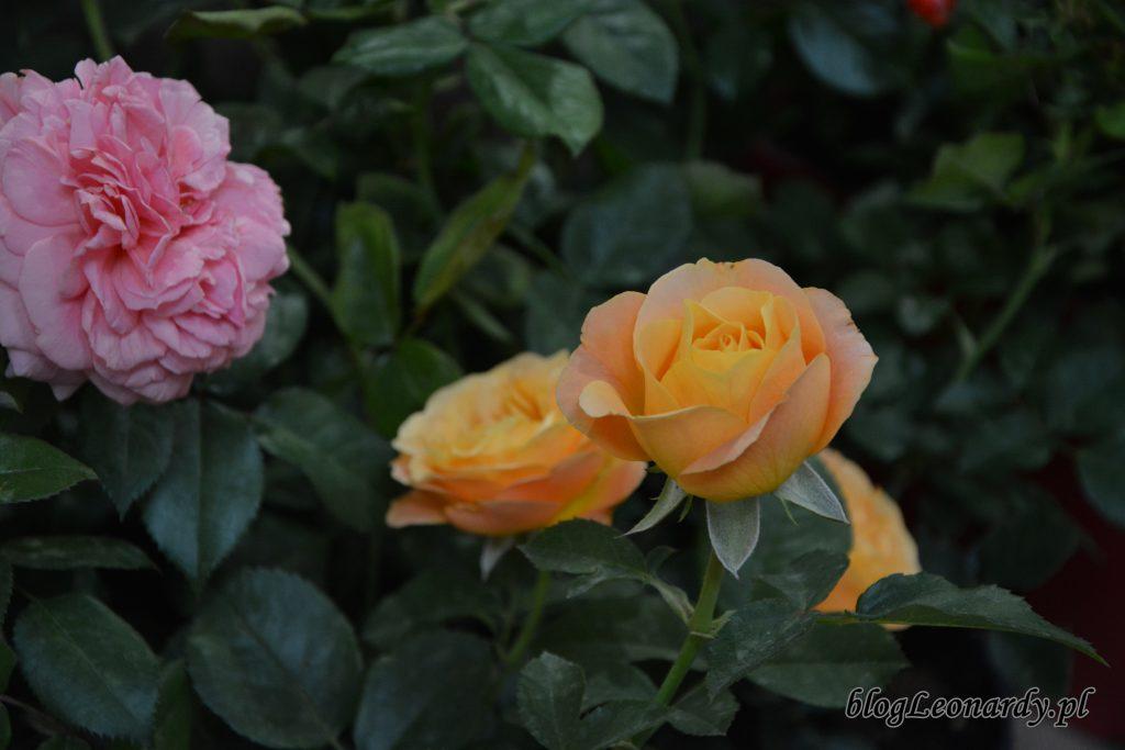 zieleń to życie róża (1)