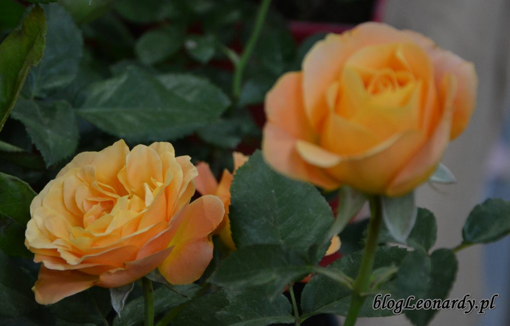 zieleń to życie róża