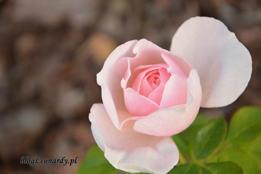 eden rose 85 (2)