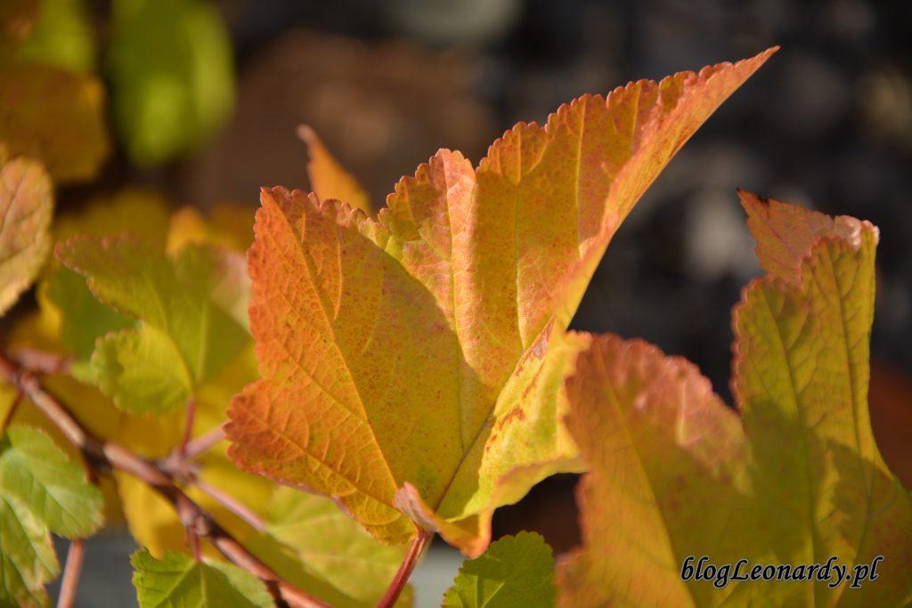 pęcherznica liść