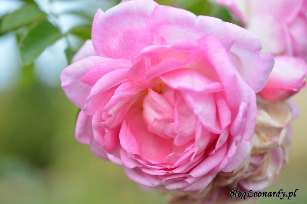 róża jasmina 1