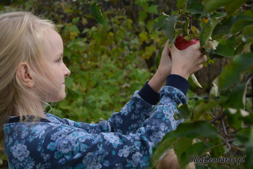 zbieramy jabłka