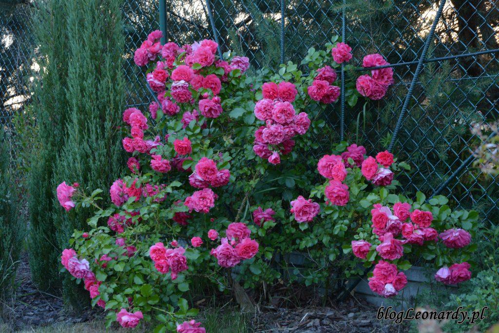 rosarium uetetsen