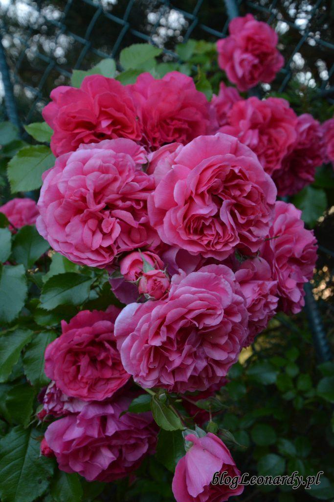 rosarium uetetsen 2