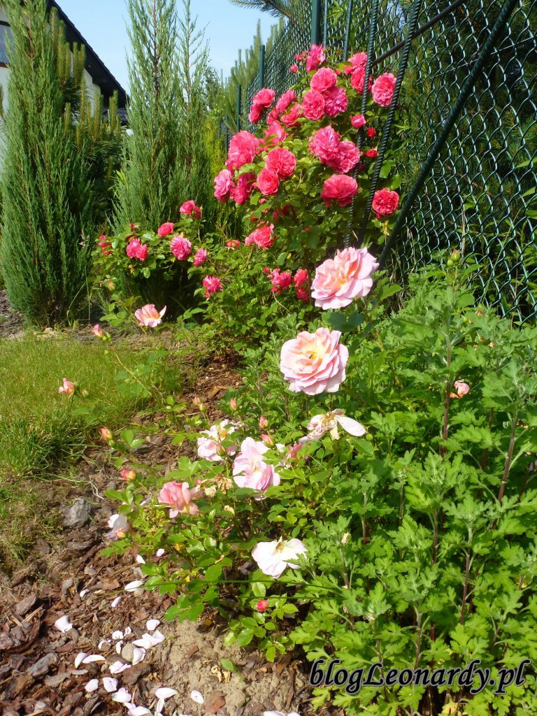 rosarium uetetsen 2014 (2)