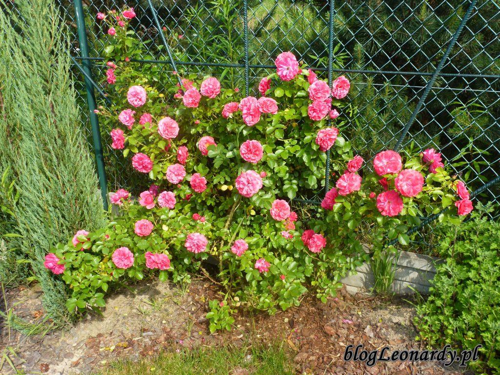 rosarium uetetsen 2014 (4)