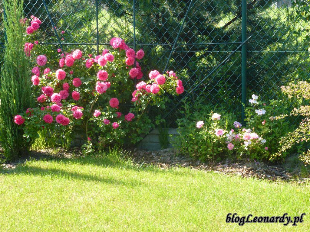 rosarium uetetsen 2014 (5)