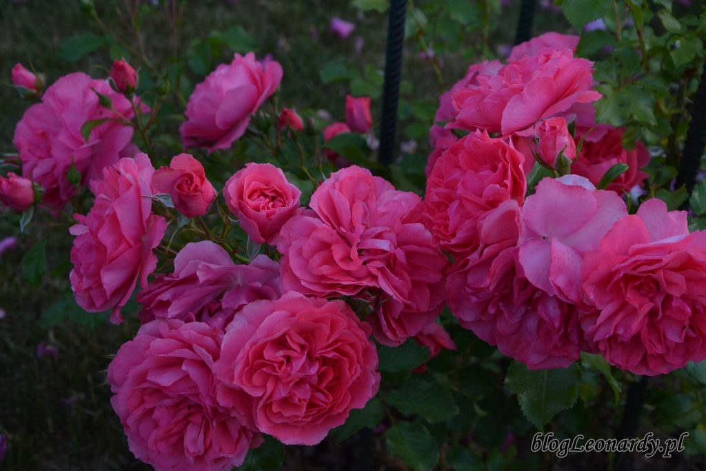 rosarium uetetsen 3