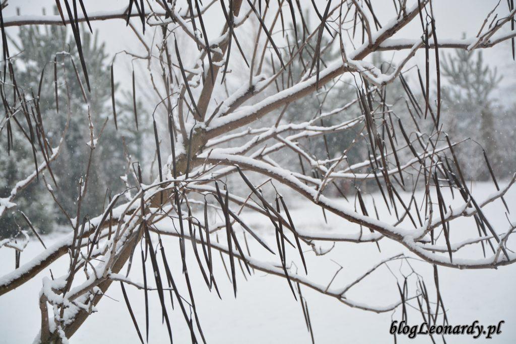 katalpa strąki zimą