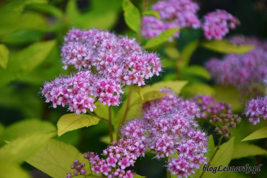kwiatostany tawuł