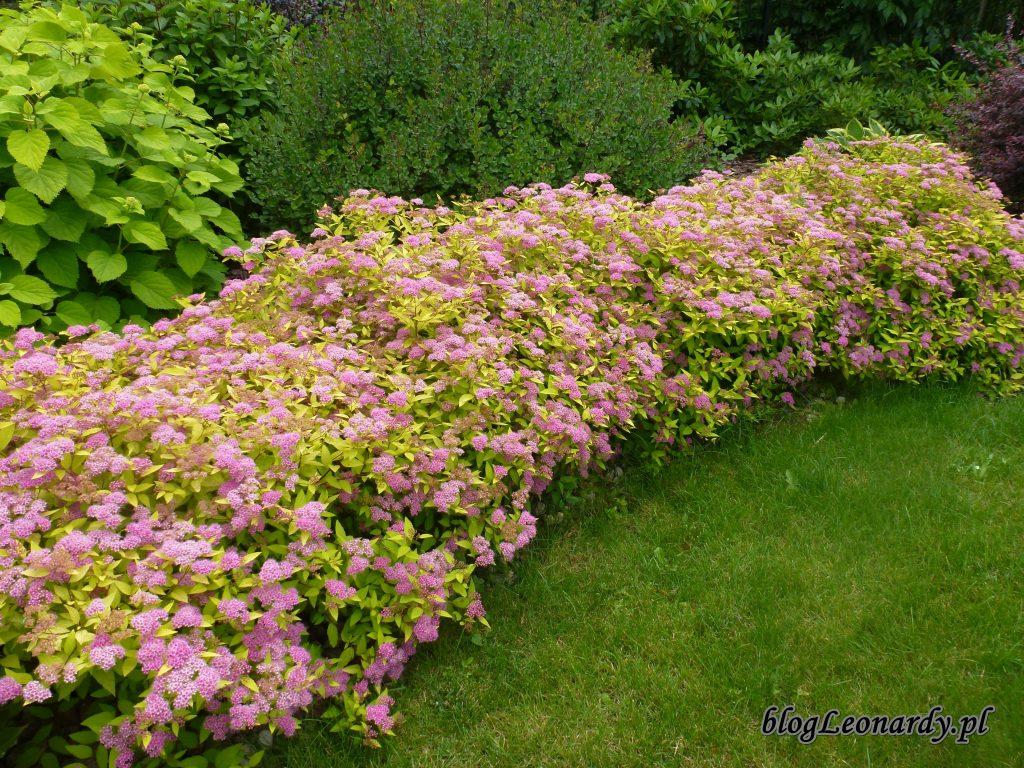 kwitnące tawuły (2)
