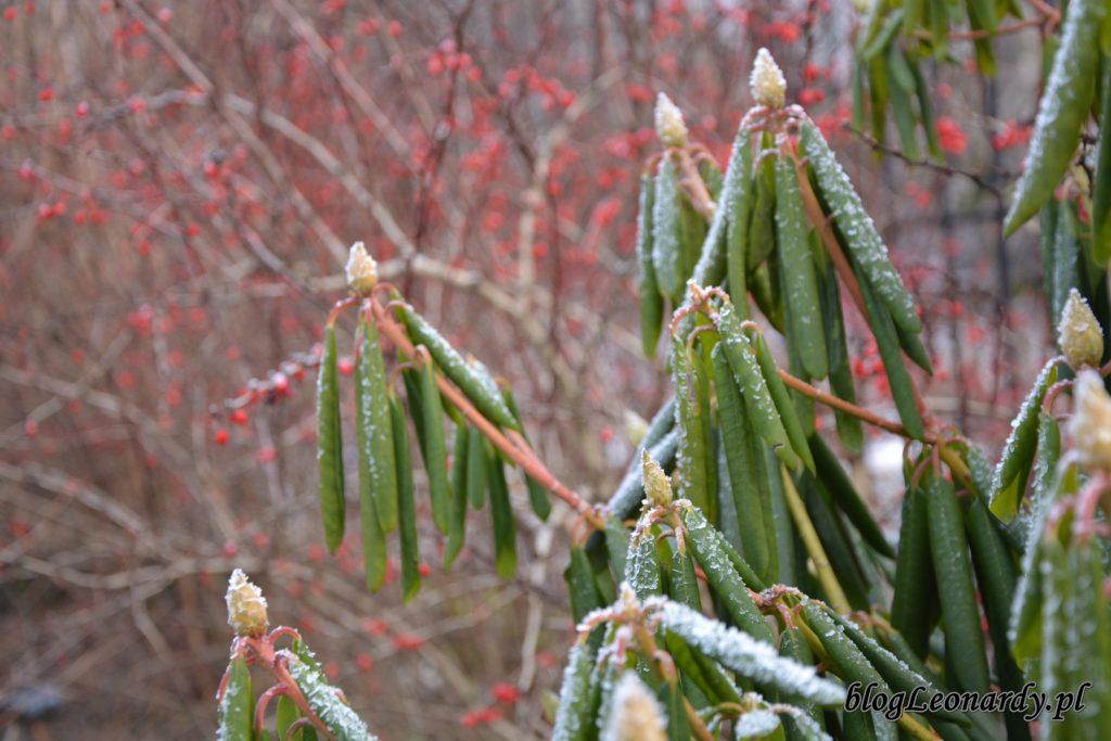 rh liście zimą