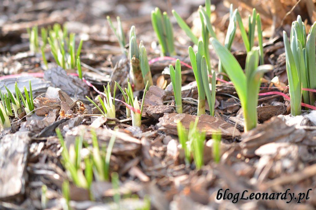 łąka cebulowych