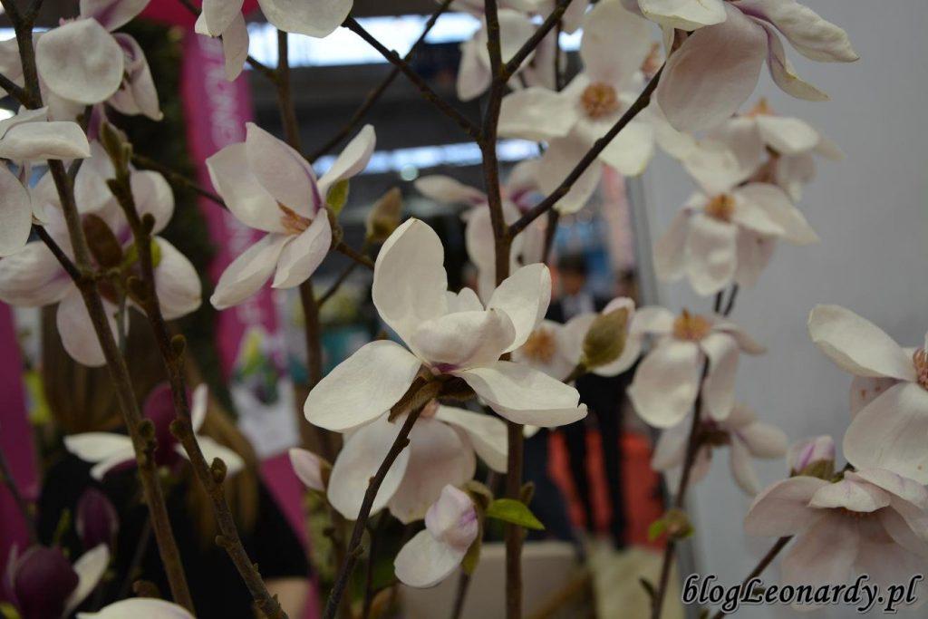 magnolia kobus Norman Gould