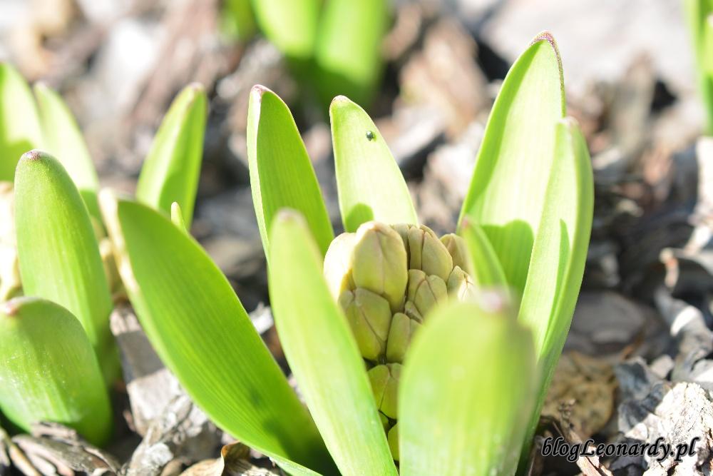 wiosna hiacynty