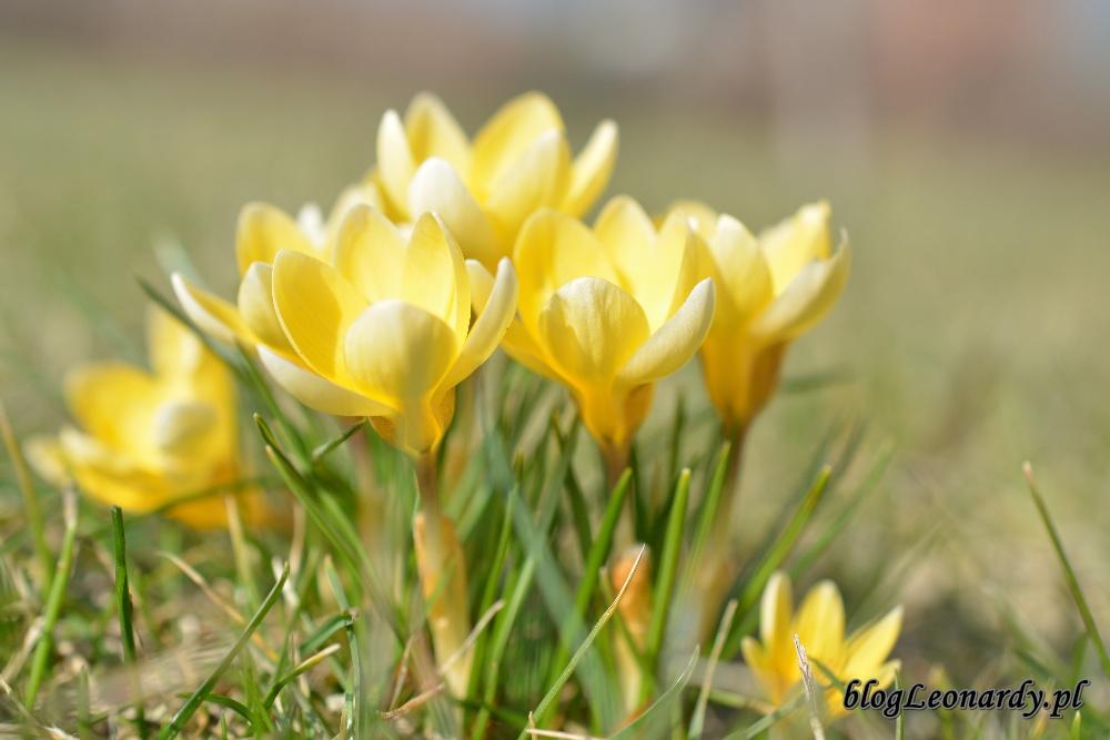 wiosna krokusy 3