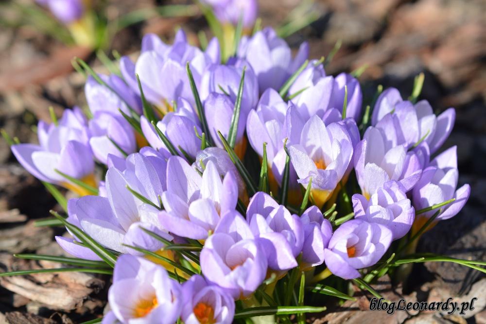 wiosna krokusy 6