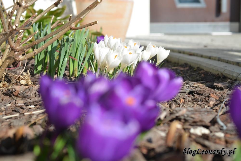wiosna krokusy 7