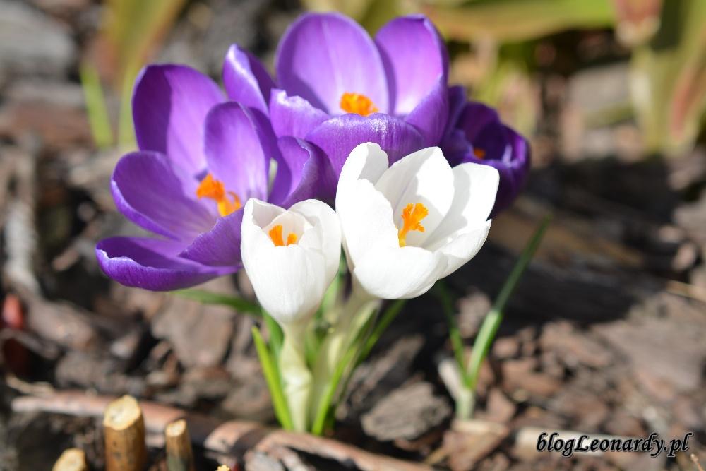 wiosna krokusy