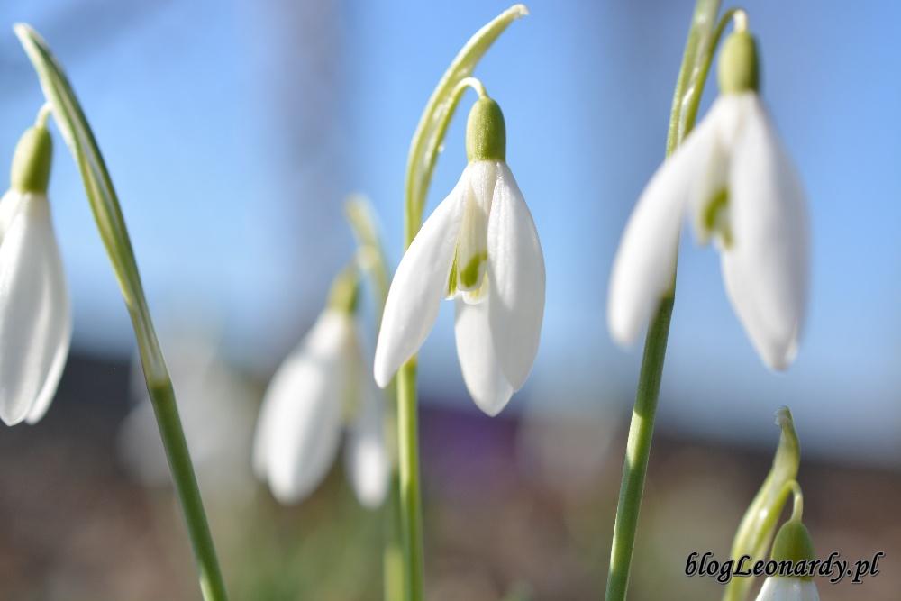 wiosna przebiśniegi