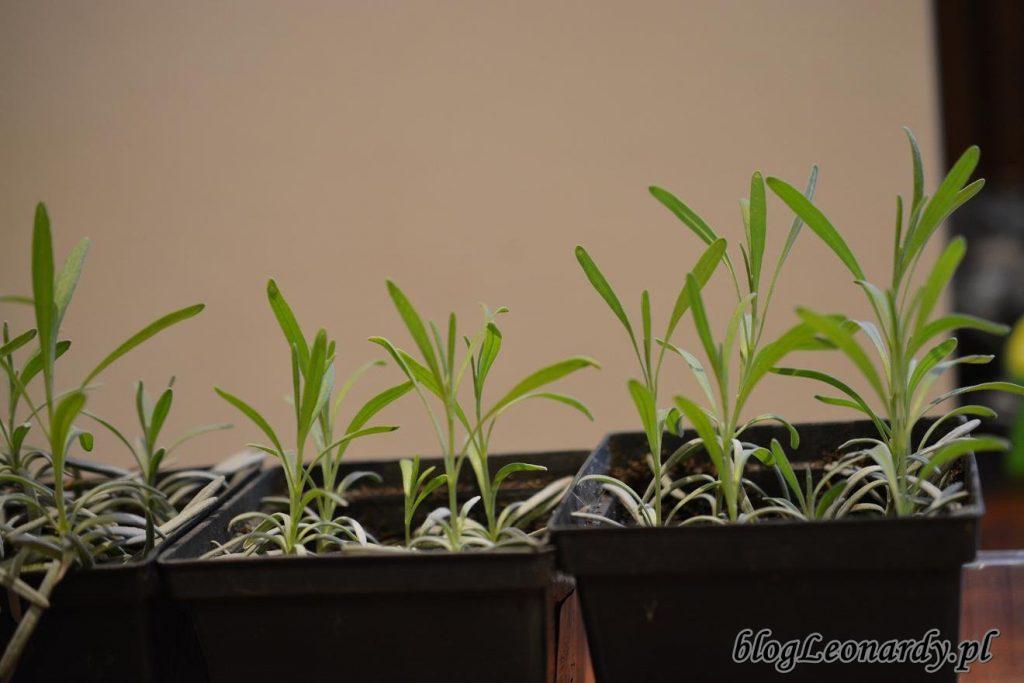 wyrośnięte sadzonki po miesiącu