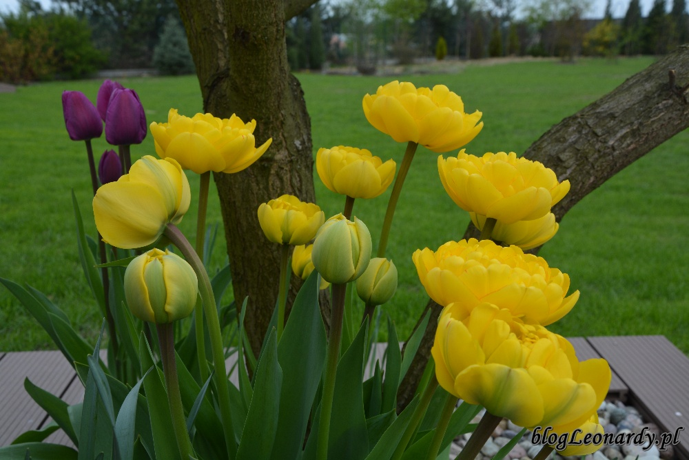 tydzień w ogrodzie -żółte tulipany