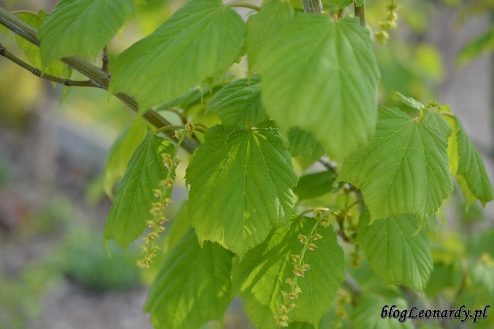 tydzień w ogrodzie -klon zielonokory