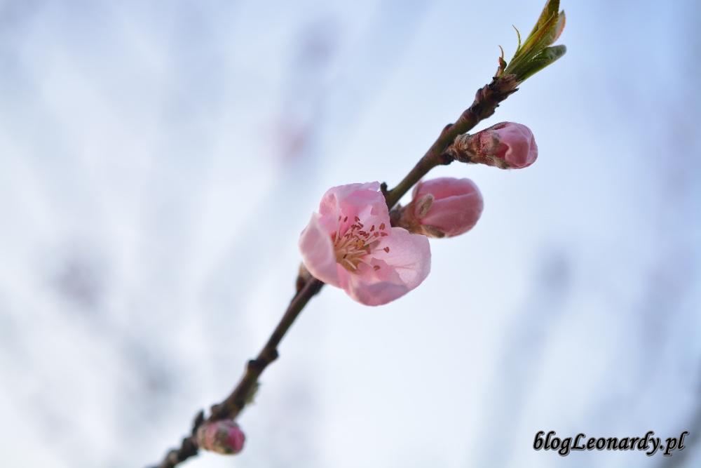 tydzień w ogrodzie -nektaryna