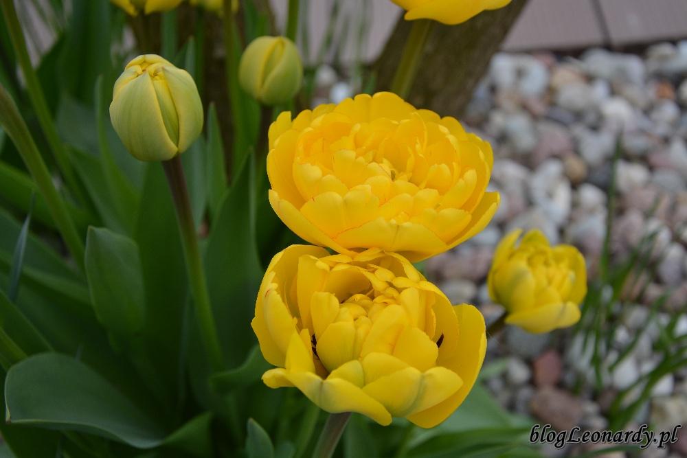 tydzień w ogrodzie -tulipany żółte