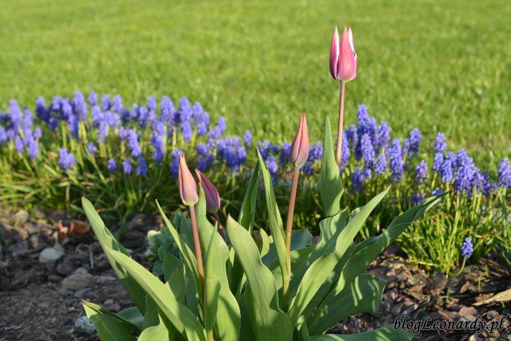 tydzień w ogrodzie -tulipany liliokształtne