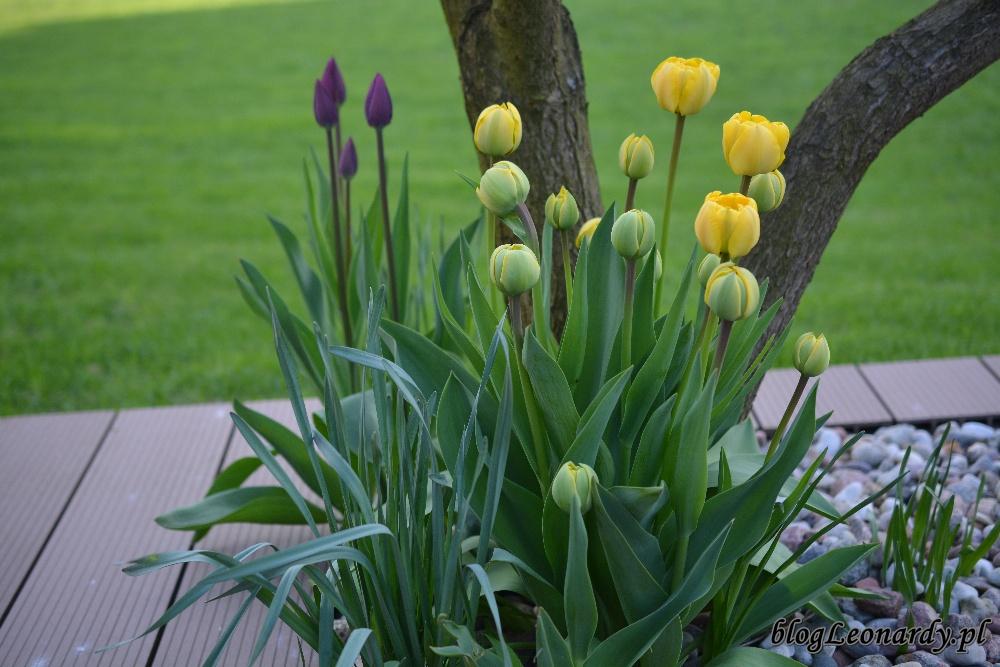 tydzień w ogrodzie -tulipany pełne