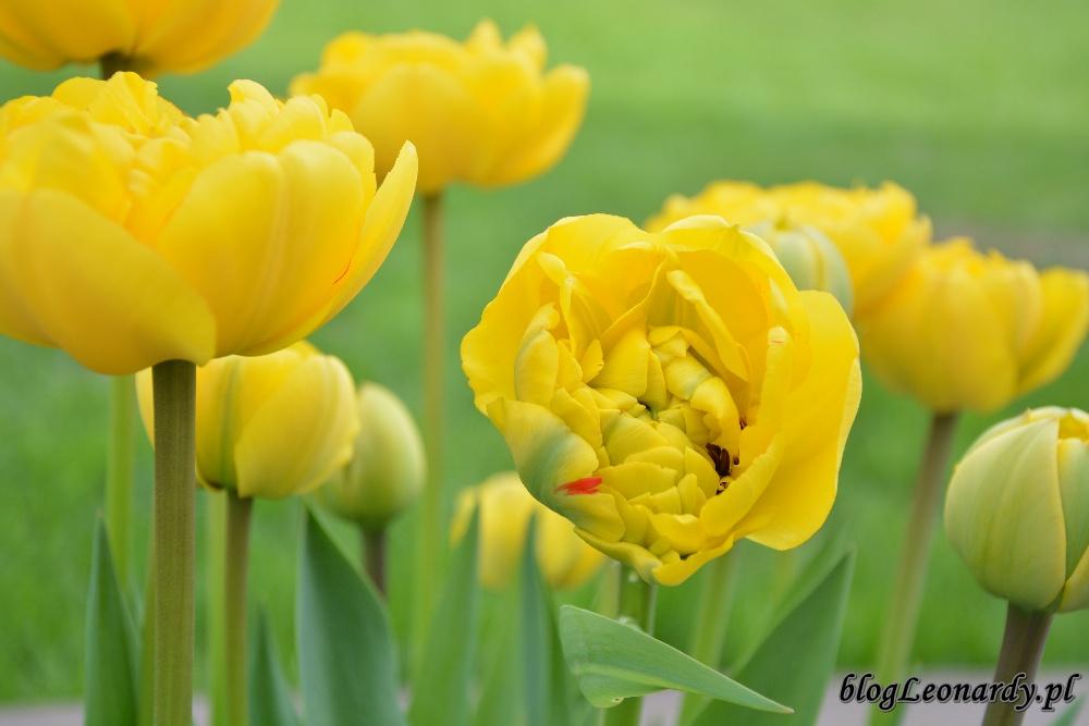 tydzień w ogrodzie -zółty tulipan